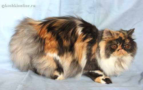 Фото кошки с черепаховым окрасом