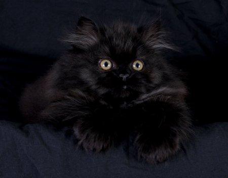 Персидская черная