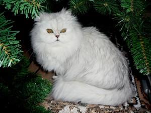 Шиншилла кошка фото