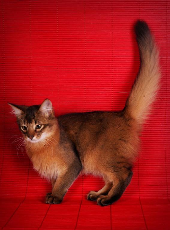 Сомалийская кошка на фото