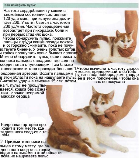 Как измерить пульс у кошки