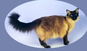 Фото балийской кошки