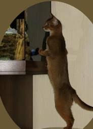 Фото абиссинских кошек