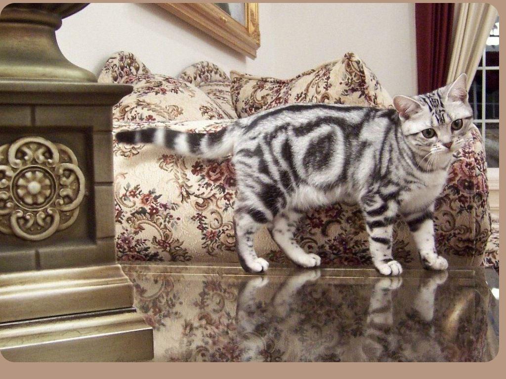 С фото → фото американской кошки