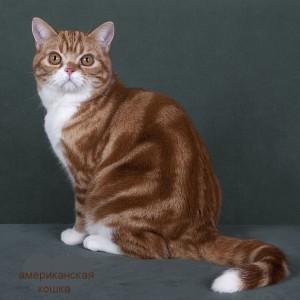 Фото американской кошки