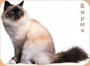 Фото бирманской кошки