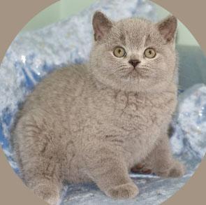 Фото британской кошки