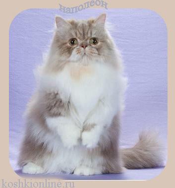 Наполеон кошка