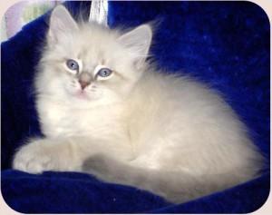 котенок фото невско-маскарадный #12