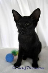 Фото ориентальной кошки