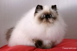 Фото гималайской кошки