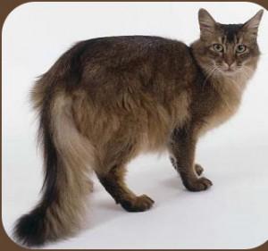 Фото сомалийской кошки