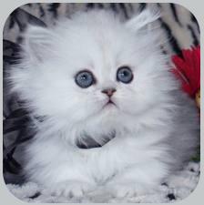Фото шиншиллы кошки