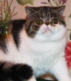 Фото экзотической кошки