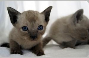 Фото тонкинской кошки