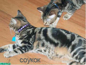 Фото кошки соукок