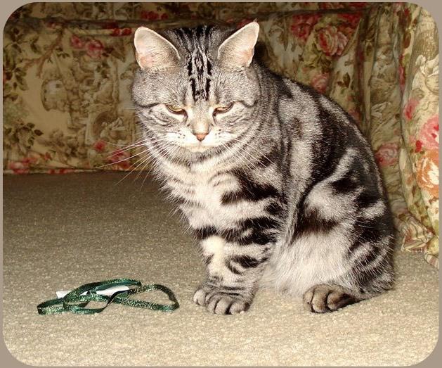 Американская кошка фото