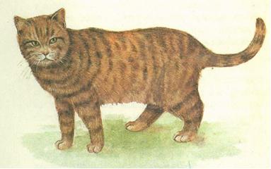 Британская шоколадная тигровая
